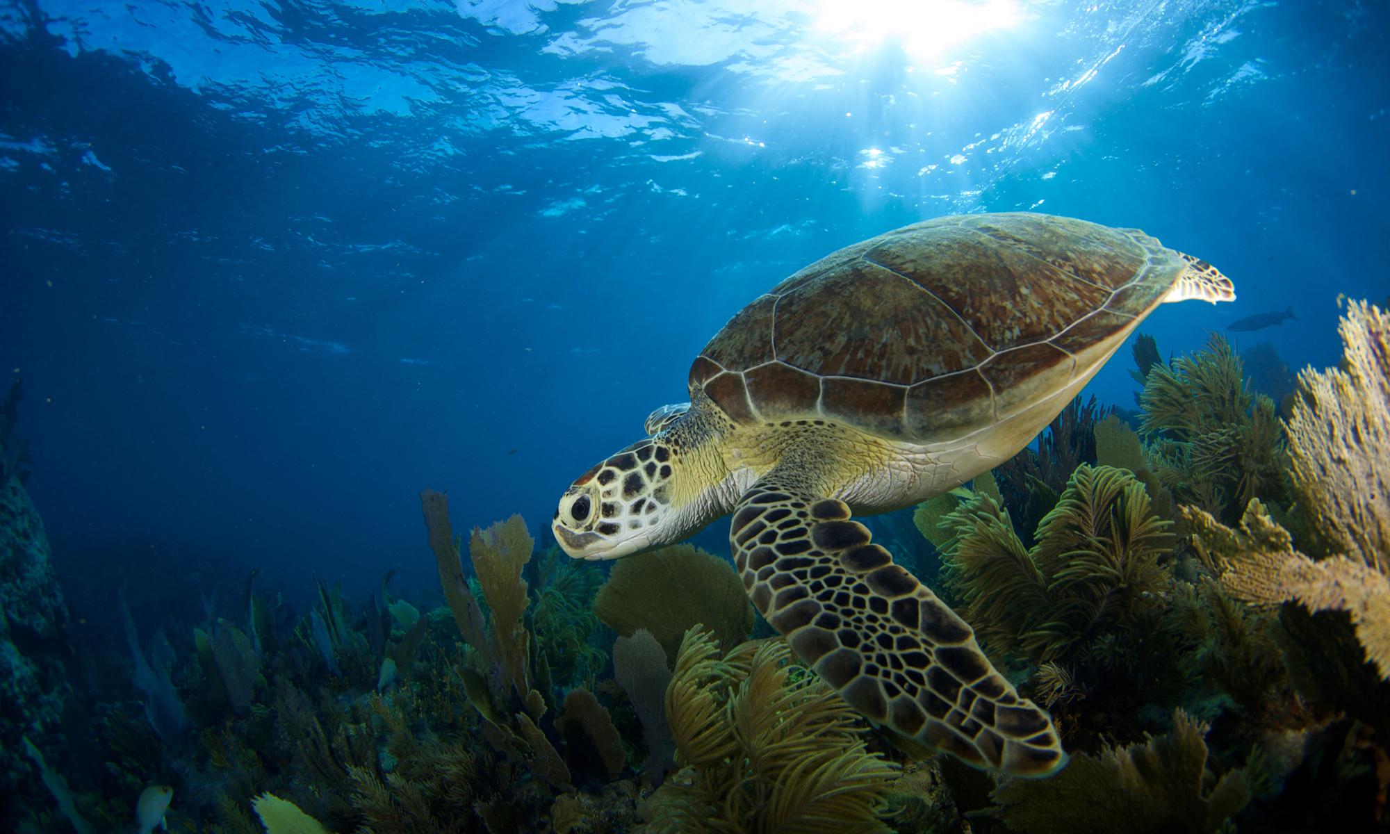 Sea turtle in Florida Keys