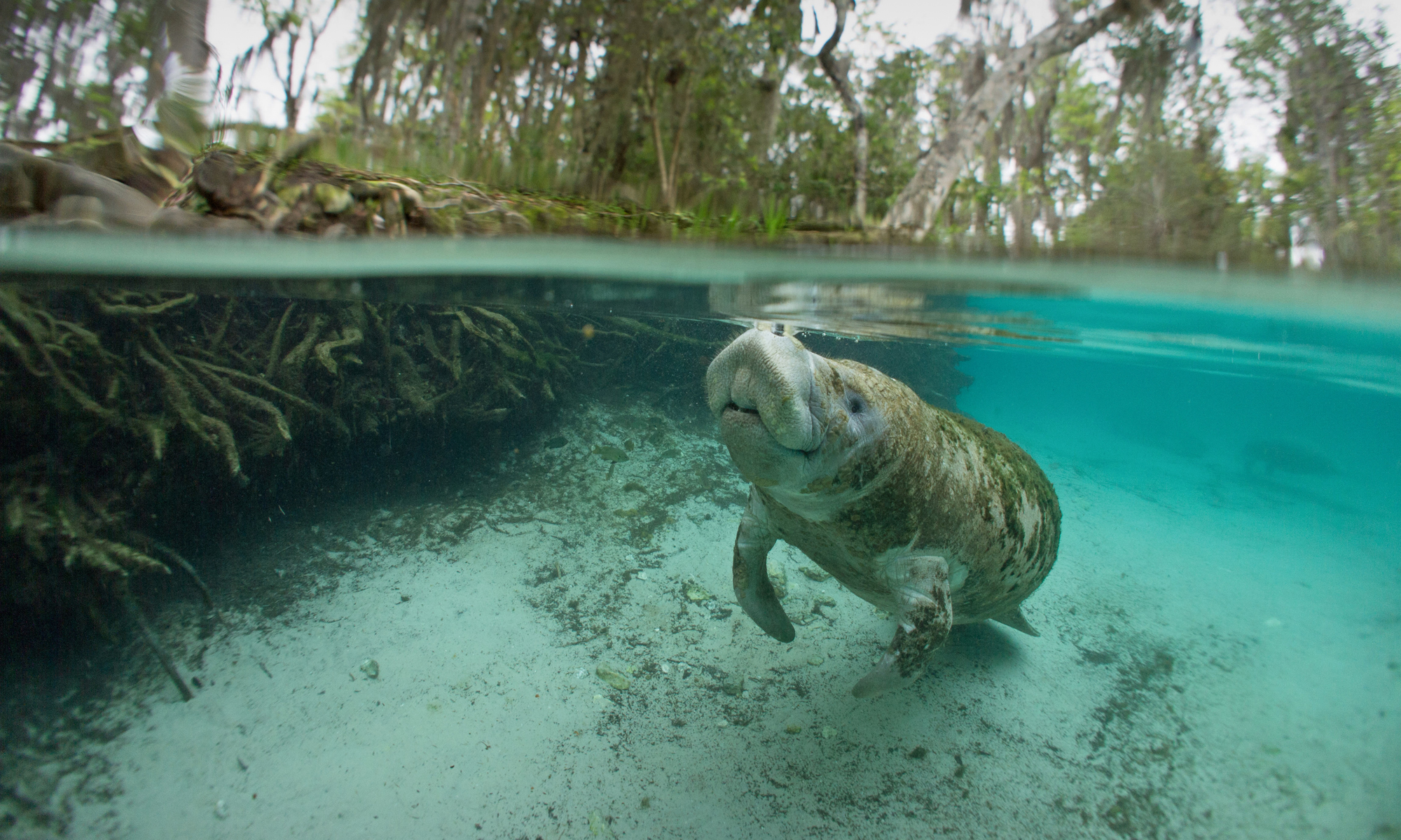 Manatee in Florida spring